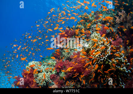 Lyretail anthias / Goldies (Pseudanthias squamipinnis) on reef top. Egypt, Red Sea. - Stock Photo