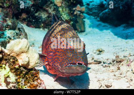 Red Sea Coral Grouper (Plectropomus pessuliferus marisrubri) Egypt, Red Sea. - Stock Photo