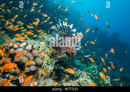 Common lionfish / Devil firefish (Pterois miles) being mobbed by Lyretail anthias / Goldies (Pseudanthias squamipinnis) Egypt, Red Sea. Endemic species. - Stock Photo