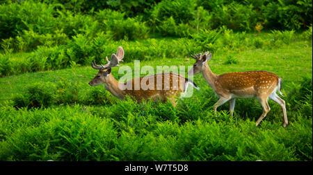 Fallow deer (Dama dama) stags, captive, Cabarceno Park, Cantabria, Spain. - Stock Photo