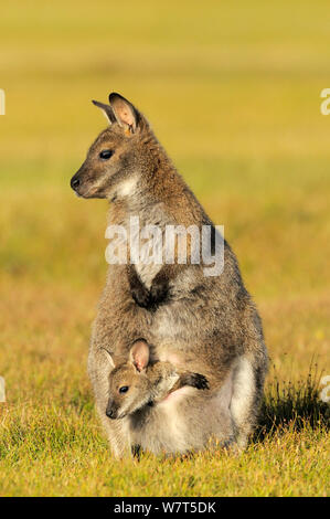 Bennett's Wallaby (Macropus rufogriseus) female with joey in pouch, Tasmania, Australia. - Stock Photo