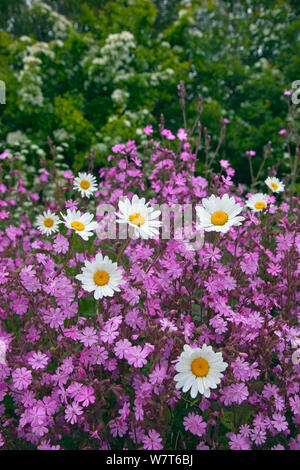 Red campion (Silene dioica) and Oxeye Daises (Leucanthemum vulgare) on field margin, Norfolk, UK, June. - Stock Photo