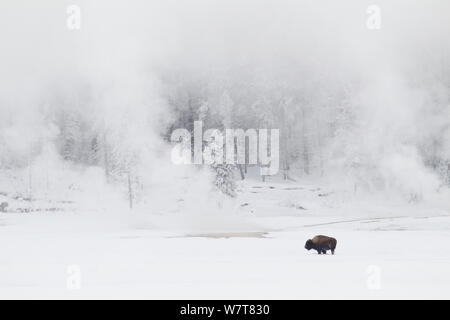 American Bison (Bison bison) standing in front of winter geysers, Yellowstone National Park, Wyoming, USA, February 2013.. - Stock Photo