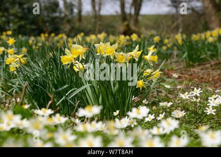 Wild Daffodils (Narcissus pseudonarcissus) and Wood Anemones (Anemone nemorosa), ancient woodland, Herefordshire, England, UK, April. - Stock Photo