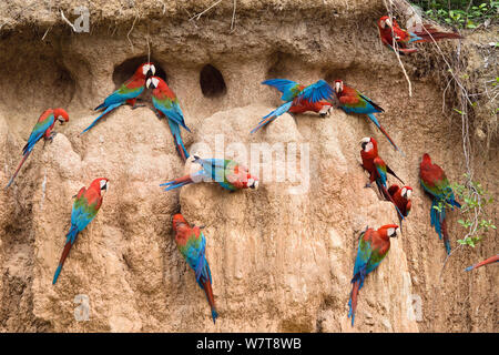 Red-and-green Macaws (Ara chloroptera) at clay lick,  Tambopata National Reserve, Peru, South America. Stock Photo