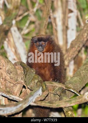 Coppery Titi Monkey  (Callicebus cupreus) in rainforest, Tambopata Reserve, Peru, South America. - Stock Photo