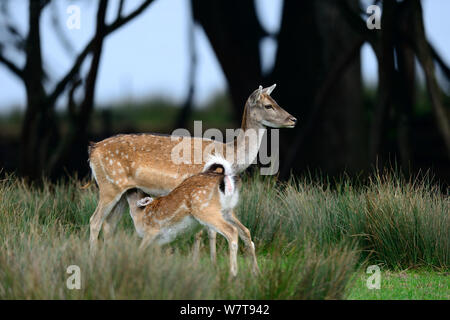 Fallow deer (Dama dama), hind and fawn suckling, captive, Domaine de Sainte Croix, Rhodes, France, September. - Stock Photo