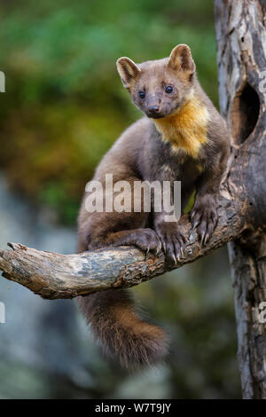 Pine marten (Martes martes) juvenile male sitting on branch of a dead tree outside an old black woodpecker (Dryocopus martius) nest hole. Molde, Central Norway, September. - Stock Photo