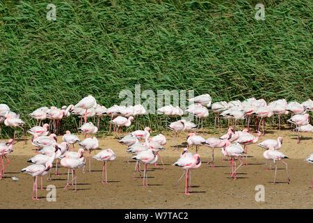 Greater flamingoes (Phoenicopterus ruber) in the Walvis Bay Lagoon, Ramsar site, Namib desert, Namibia, September 2013. - Stock Photo