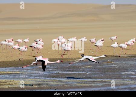 Greater flamingoes (Phoenicopterus ruber) in flight, Walvis Bay Lagoon, Ramsar site, Namib desert, Namibia, September 2013. - Stock Photo