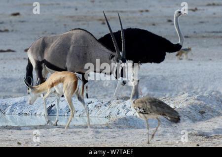Gemsbok (Oryx gazella) at waterhole, with Ostrich (Struthio camelus), Springbok (Antidorcas marsupialis) and Kori bustard (Ardeotis kori). Etosha National Park, Namibia. - Stock Photo