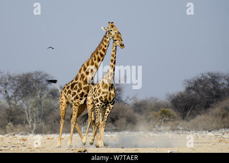 Male Giraffe (Giraffa camelopardis) trying to mate with female, as she attempts to escape, Etosha National Park, Namibia. - Stock Photo