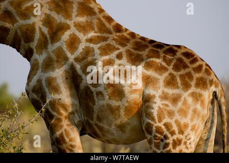Detail of Giraffe (Giraffa camelopardis) fur patterns, Etosha National Park, Namibia. - Stock Photo