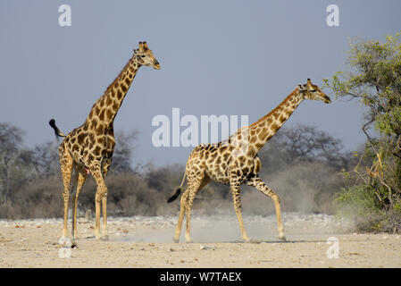 A male giraffe (Giraffa camelopardis) tries to reproduce with a female, as she tries to escape. Etosha National Park, Namibia. - Stock Photo