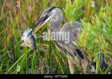Great Blue Heron (Ardea herodias) with Bluegill Sunfish (Lepomis macrochirus) prey, Everglades National Park, Florida, USA, March. - Stock Photo