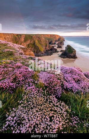 Pink thrift (Armeria maritima) flowering on cliff top at sunet, Bedruthan Steps, near Newquay, North Cornwall, UK, May 2013. - Stock Photo