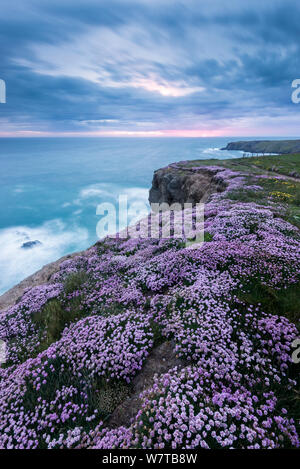 Pink thrift (Armeria maritima) flowering on cliff top, Bedruthan Steps, near Newquay, North Cornwall, UK, May 2013. - Stock Photo