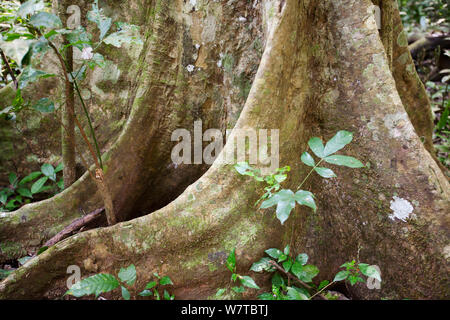 Buttress roots of Fig (Ficus) tree. Semi-deciduous tropical rainforest, Budongo Forest Reserve, Uganda. - Stock Photo