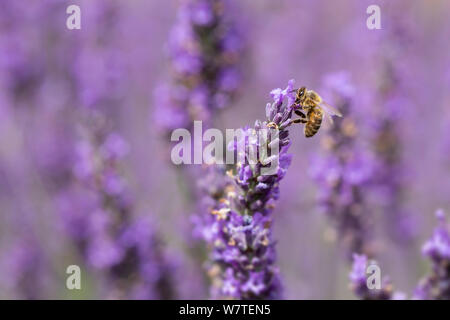 Close up of a Honey Bee, apis mellifera, on lavender flowers - Stock Photo