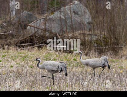 Common Crane (Grus grus) pair, central Finland, May. - Stock Photo