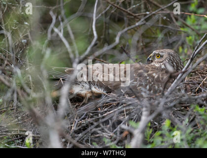 Hen Harrier (Circus cyaneus) female on a nest with mosquitos, central Finland, June. - Stock Photo