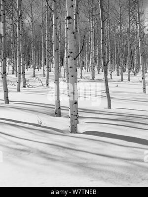 Black and white photograph of snowy winter landscape with Aspen (Populus) trees in Ashely National Forest, Utah, USA. - Stock Photo