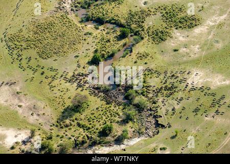 Wildebeest (Connochaetes taurinus) migration, aerial view crossing river, Masai-Mara game reserve, Kenya, September - Stock Photo