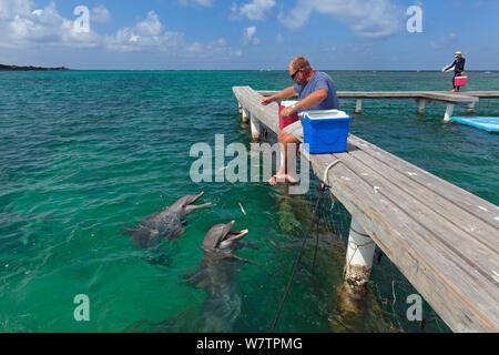 Man feeding two Bottle-nosed dolphins (Tursiops truncatus)  Marine Institute, Bay Islands, Honduras, February 2008. - Stock Photo