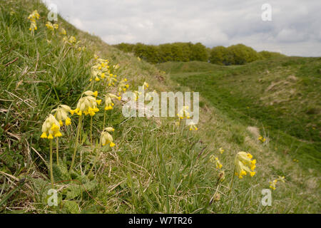 Cowslips (Primula veris) flowering on steep grassy ramparts of Barbury Castle Iron Age hill fort, Marlborough Downs, Wiltshire, UK, May. - Stock Photo