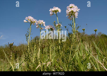Low angle view of a clump of Cuckoo flower / Lady's smock (Cardamine pratensis) flowering in a damp meadow, Wiltshire, UK, May. - Stock Photo
