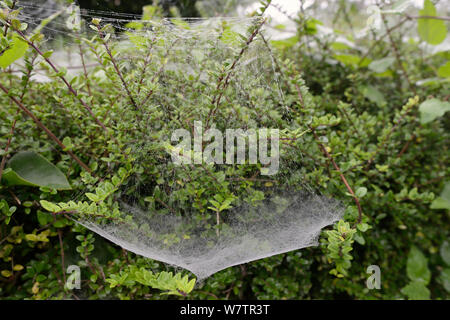 Hammock web of money spider / Hammock-weaver (Linyphidae) suspended by numerous tangled silk strands, Wiltshire garden hedge, UK, September. - Stock Photo