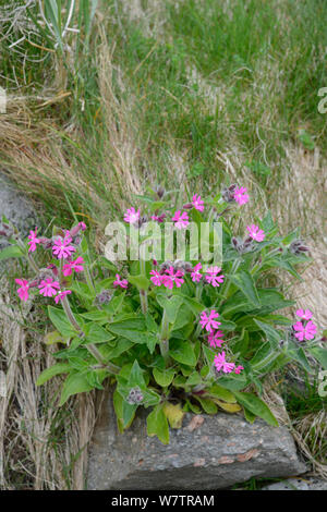 Red Campion (Silene dioica) in flower, Shetland Islands, Scotland, UK, May. - Stock Photo