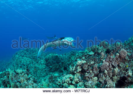 Reef manta rays (Manta alfredi) at a cleaning station on a coral reef between Makalawena and Mahaiula to have parasites removed by wrasses, Kona Coast, Hawaii, USA. Central Pacific Ocean. - Stock Photo