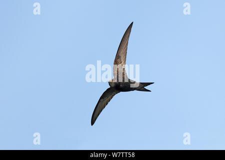 Common Swift (Apus apus) in flight, Wirral, Merseyside, UK, July.