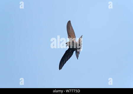 Common Swift (Apus apus) catching insect in flight, Wirral, Merseyside, UK, July.