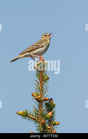 Tree Pipit (Anthus trivialis) singing in conifer forest, North Wales, UK, May. - Stock Photo