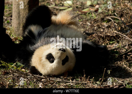 Giant Panda (Ailuropoda melanoleuca) sub adult rolling. Bifengxia, China. Captive. - Stock Photo