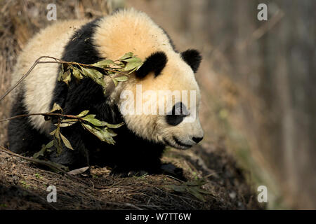 Giant Panda (Ailuropoda melanoleuca) sub adult. Bifengxia, China. Captive. - Stock Photo
