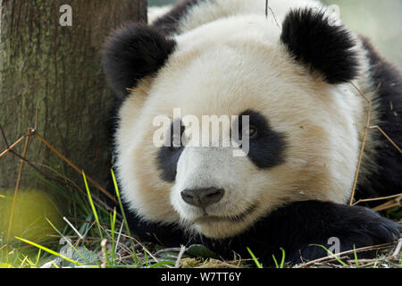 Giant Panda (Ailuropoda melanoleuca) sub adult resting. Bifengxia, China. Captive. - Stock Photo