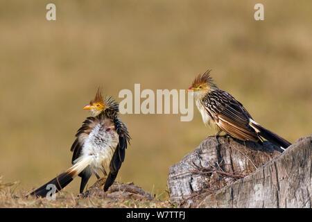 Two Guira cuckoos (Guira guira) Brazil. - Stock Photo