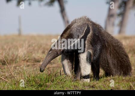 Giant Anteater (Myrmecophaga tridactyla) Pantanal, Brazil - Stock Photo