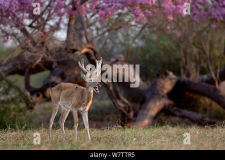 Pampas deer (Ozotoceros bezoarticus) buck in velvet calling, Pantanal, Brazil - Stock Photo