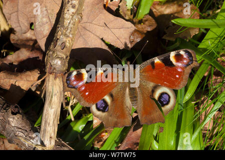 Peacock butterfly (Inachis io) newly emerged from hibernation, basking with open wings in spring sunshine. Peak District National Park, Cheshire, UK, May. - Stock Photo