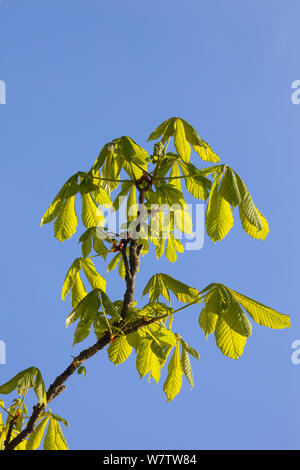 Horse Chestnut (Aesculus hippocastanum) leaves emerging from buds. Peak District National Park, Derbyshire, UK, May. - Stock Photo