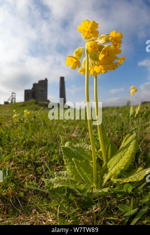 Cowslips (Primula veris) growing on abandoned lead mine, Peak District National Park, Derbyshire, UK, May 2013. - Stock Photo