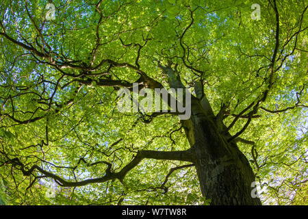 Looking up through a Beech wood canopy (Fagus sylvatica) in summer, Peak District National Park, Cheshire, UK, August. - Stock Photo