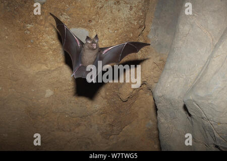 Great round leaf bat (Hipposideros armiger) in flight in cave, Guilin City, Guangxi Province, China, Novembery. - Stock Photo