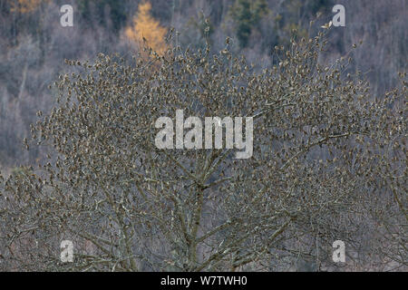 Plain Mountain Finch (Leucosticte nemoricola) large flock roosting in tree, Nyingchi Prefecture, Qinhai-Tibetan Plateau, China, November. - Stock Photo