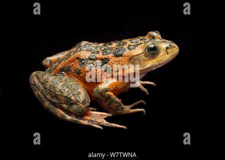 Oregon spotted frog (Rana pretiosa) portrait, Conboy Lake National Wildlife Refuge, Washington, USA, July, Vulnerable species. - Stock Photo