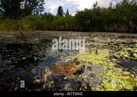 Oregon spotted frog (Rana pretiosa) in water, Conboy Lake National Wildlife Refuge, Washington, USA, July, Vulnerable species. - Stock Photo